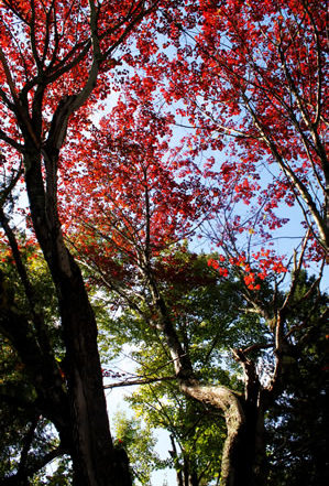crimson red leaves at the top of twisted branches reaching toward the sky