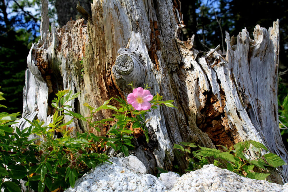 a single pink beach rose blossom in front of a very old tree stump
